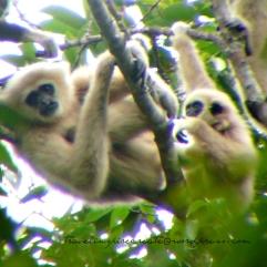 Gibbons in Khao Yai National Park (Thailand)