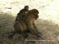 Monkeys in Morocco