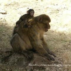 Monkeys in Morocco